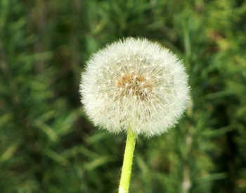 IMG_3603 dandelion-make a wish smaller ls