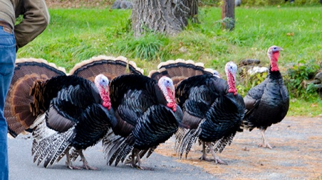 Turkey Chase 2